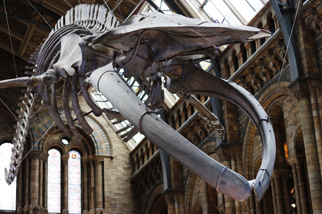 what to do during a UK road trip with kids: see the blue whale skeleton at the natural history museum in london