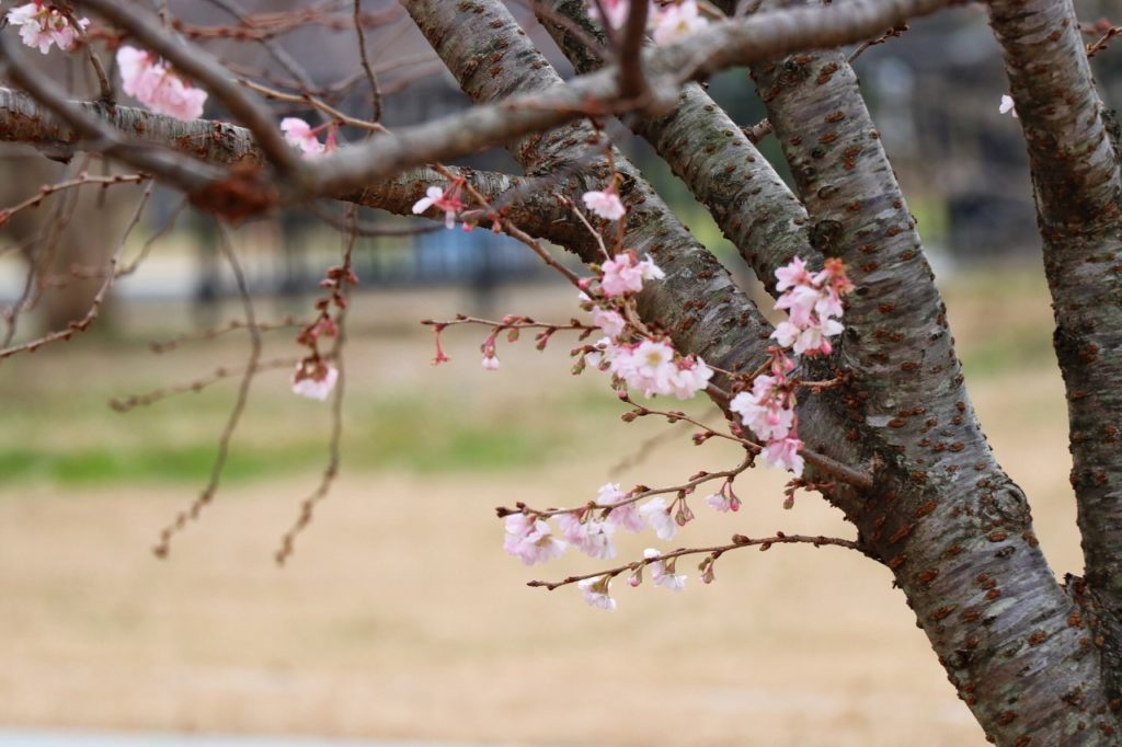 road trip from texas to washington dc - cherry blossoms at the national mall